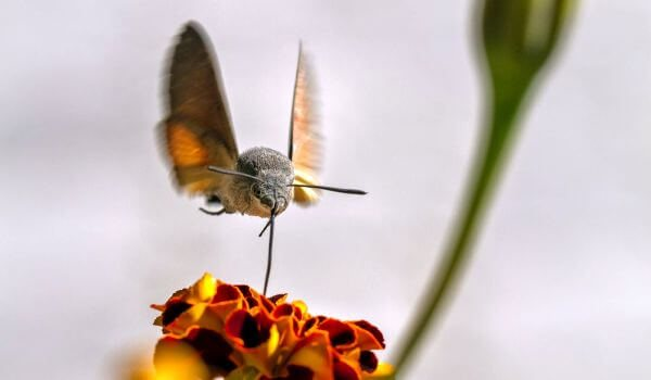 Фото: Бабочка бражник в природе